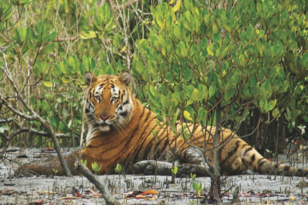 Sundarban-tiger-1200×800